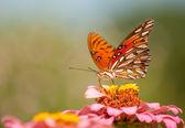 Kolorowy agraulis vanillae motyli karmienie na różowy kwiat — Zdjęcie stockowe