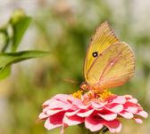 Bright Alfalfa Butterfly, Colias eurytheme — Stock Photo
