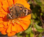Buckeye butterfly feeding on an orange Zinnia — Stock Photo