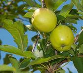 Dwa jabłka dojrzewania w drzewo — Zdjęcie stockowe