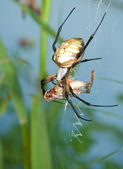 Argiope spider with prey — Stock Photo