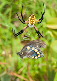 Female Black-and-yellow Argiope spider with her pray — Stock Photo
