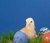 бафф цветные пасха chick на траве — Стоковое фото