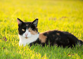 Beautiful, colorful calico cat in grass in bright sunshine — Stock Photo
