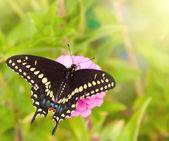 Vista dorsal de una mariposa de swallowtail negro oriental — Foto de Stock