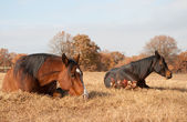 Two horses sleeping in grass — Stock Photo