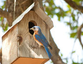 Male Eastern Bluebird — Stock Photo
