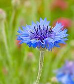 Single blue Corn Flower in garden — Stock Photo