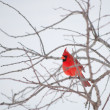 Stock Photo: Bright red Northern Cardinal bird