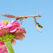 Carolina Mantid — Stock Photo