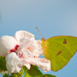 Stock Photo: Clouded Sulphur butterfly