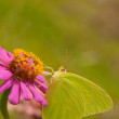 Stock Photo: Cloudless Sulphur butterfly
