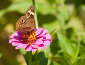 Beautiful Buckeye butterfly — Stock Photo