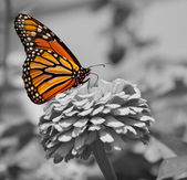 Mariposa monarca — Foto de Stock