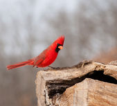 Bright red Northern Cardinal — Stock Photo