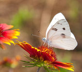 Checkered White Butterfly — Stock Photo