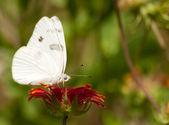 Checkered biały motyl — Zdjęcie stockowe