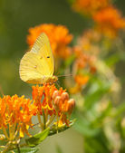Clouded Sulphur butterfly on Butterflyweed — Stock Photo