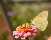 Chmurzy siarki motyl — Zdjęcie stockowe