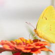 Stock Photo: Lemon yellow Cloudless Sulphur butterfly feeding on orange Zinnia