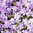 Stockfoto: Creeping Phlox, Phlox subulatEmerald Blue