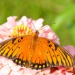 Stock Photo: Dorsal view of a Gulf Fritillary butterfly