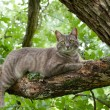 Stock Photo: Spotted blue tabby cat on tree branch