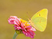 Beautiful bright yellow Cloudless Sulphur butterfly — Stock Photo