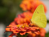 Brilliant yellow Cloudless Sulphur butterfly — Stock Photo