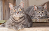 Two cute blue tabby kitty cats resting on the porch — Stock Photo