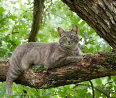 Spotted blue tabby cat on tree branch — Stock Photo