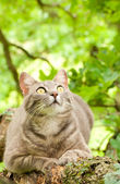 Spotted blue tabby cat looking intently at prey up in a tree — Stock Photo