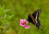 Papilio polyxenes asterius, Eastern Black Swallowtail butterfly — Stock Photo