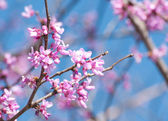 Eastern Redbud flowering in early spring — Stock Photo