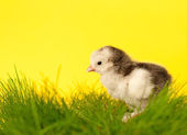 Cute gray and white Easter chick in grass against yellow background — Stock Photo