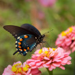 Stock Photo: Green Swallowtail Butterfly on double pink Zinnia