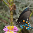 Stock Photo: Green Swallowtail Butterfly on light pink Zinnia