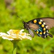 Green Swallowtail butterfly on pale yellow Zinnia — Stock Photo