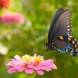Stock Photo: Green Swallowtail butterfly feeding on pink Zinnia