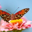 Front view of colorful Gulf Fritillary butterfly — Stock Photo #5560077