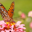 Front view of a beautiful, colorful Gulf Fritillary butterfly — Stock Photo