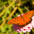 Dorsal view of a beautiful Gulf Fritillary butterfly — Stock Photo #5560093