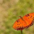 Dorsal view of a colorful Gulf Fritilary butterfly — Stock Photo #5560097