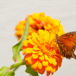 Stock Photo: Gulf Fritillary butterfly feeding on matching orange Zinnia