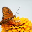 Gulf Fritillary Butterfly on Orange Zinnia — Stock Photo #5560172