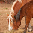 Stock Photo: Two horses sharing their hay in dry fall pasture