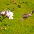 Ruby-throated Hummingbird hovering — Stock Photo