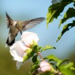 Stock Photo: Ruby-throated Hummingbird feeding on Altheflower