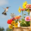 Male Hummingbird ready to feed on bright flowers — Stockfoto