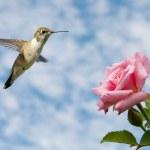 Tiny juvenile male Hummingbird hovering close to a Rose — Stock Photo